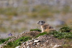 Groundhog (Marmota monax) Royalty Free Stock Images