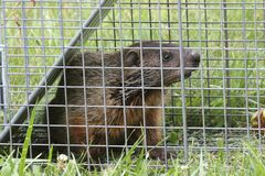 Groundhog (Marmota monax) in a trap royalty free stock images