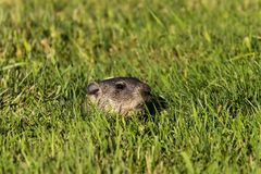 The groundhog Marmota monax woodchuck. Young underground watching the surroundings, in danger is hiding in the burrow royalty free stock photography