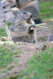Groundhog (Marmota). The groundhog (Marmota), a rodent living in the Alps Stock Photography