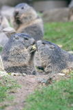 Groundhog (Marmota). The groundhog (Marmota), a rodent living in the Alps Royalty Free Stock Photography