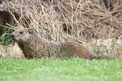 Groundhog (marmotamonax) Royaltyfria Foton