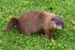 Groundhog (marmotta nordamericana) fotografia stock