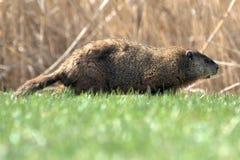 Groundhog (marmotta nordamericana) Fotografia Stock Libera da Diritti