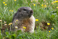 Groundhog on a meadow. Groundhog comes out of his cave and stands on a meadow royalty free stock photo
