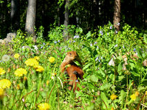 Groundhog in meadow royalty free stock photo
