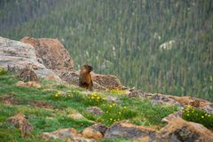 Groundhog on the meadow in the mountains. Yellow-bellied Marmot known as groundhog and wood-shock on the meadow in the mountains. Rocky Mountain National Park stock photography