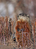 Groundhog (monax del Marmota) Immagini Stock