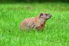 Groundhog (monax del Marmota) immagini stock libere da diritti