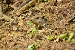 Groundhog (monax do marmota) Imagens de Stock