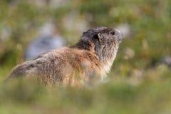 Groundhog (monax do marmota) Fotos de Stock