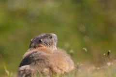 Groundhog (monax do marmota) Fotografia de Stock Royalty Free