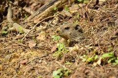 Groundhog (monax marmota) Стоковое Изображение