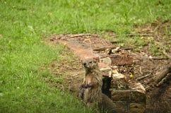 Groundhog (monax marmota) Стоковые Фотографии RF
