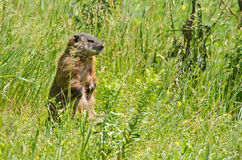 Groundhog in Montreal Stock Photo