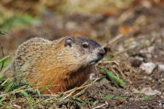 Groundhog Time Out from Digging. This can be either a marmot, woodchuck, or groundhog. Same animal, three names royalty free stock photo