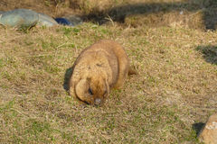 Groundhog na grama da mola Foto de Stock