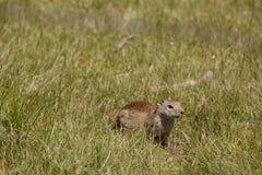 Groundhog na vigia Foto de Stock