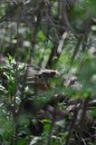 Groundhog nas madeiras Fotos de Stock Royalty Free