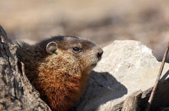 Groundhog. In nature during spring royalty free stock photos