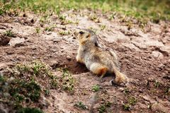 Groundhog near the hole. In prairie stock images