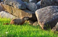 Groundhog near the hole Stock Images