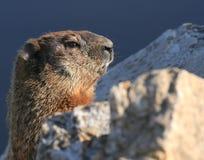 Groundhog nelle rocce fotografia stock libera da diritti