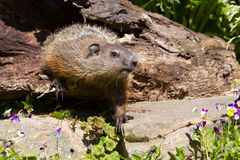 Groundhog with no shadow. In springtime royalty free stock photos