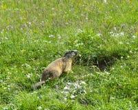 Groundhog nos cumes italianos Fotos de Stock