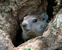 Groundhog novo na árvore fotografia de stock royalty free