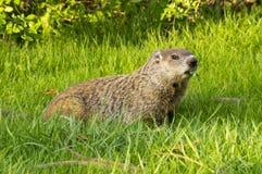 Groundhog och växt av släktet Trifolium Arkivfoto