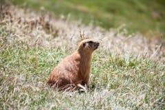 Groundhog op gras Royalty-vrije Stock Foto's