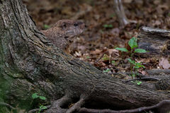 Groundhog Peek. Ing from the base of a tree royalty free stock image