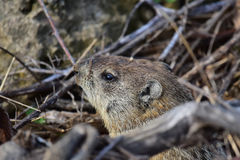 Groundhog Stock Photo