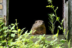 Groundhog peeks from Root Cellar. Groundhog aka woodchuck (Marmota monax) peeks from  an abandoned root cellar Stock Photography