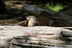 Groundhog peering overtop of a log in Sequoia National Park, California royalty free stock photography