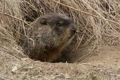 Groundhog - Marmota monax. Groundhog poking his head out of hie burrow. Also known as a Wood Chuck. Tommy Thompson Park, Toronto, Ontario, Canada stock photo