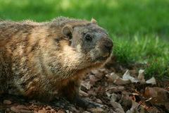 Groundhog popping out of his hole Stock Photo
