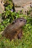 Groundhog portrait in springtime. Groundhog vertical portrait in springtime royalty free stock image