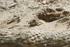 Groundhog or Prairie Dog Popping or Peeking Out of Hole. Natural light, narrow depth of field, intentionally blurry foreground royalty free stock images