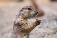Groundhog Profile Royalty Free Stock Photo