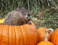 Groundhog in a pumpkin stock photo