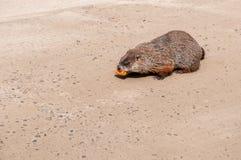 Groundhog que roe una zanahoria imagenes de archivo