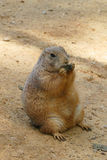 Groundhog. Red fat nice eating groundhog stock photos