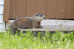 Groundhog resting Royalty Free Stock Images