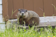 Groundhog resting Stock Photo
