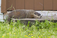 Groundhog resting Stock Images