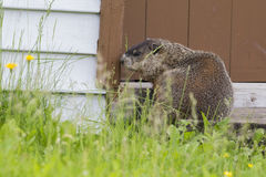 Groundhog resting Royalty Free Stock Image