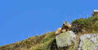 Groundhog resting on a rock. Marmot resting on a rock in front of a blue sky royalty free stock images