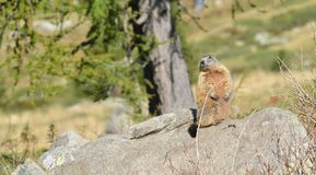 Groundhog on a rock. Marmot on a rock in front of a tree stock photos
